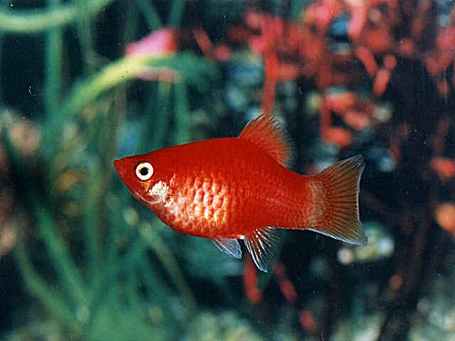 http://your-aquarium.narod.ru/fish/peziliya.jpg